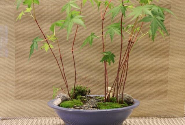 カルチャースクールいろは(東京都新宿区)で苔盆栽づくりを体験した