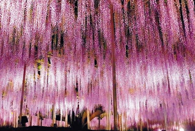 藤の大木が人気のあしかがフラワーパーク(栃木県足利市)
