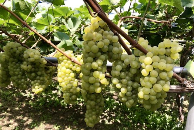 個性的な味わいのワイン用地場ブドウ品種が今、人気だ