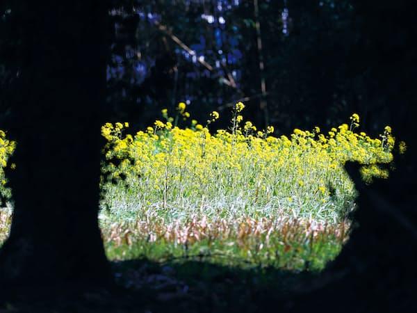 鹿野山を訪れ、菜の花の一群に出会った。春のさわやかな風に揺れていた=矢後衛撮影