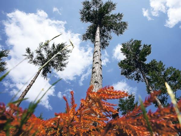 県道脇で見つけた若い杉林。まるで虔十が手入れしたようにきれいに枝打ちされていた=三浦秀行撮影