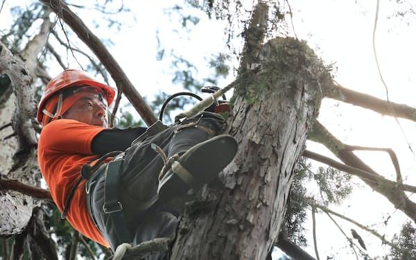 チェーンソーで枝を切り落とす空師の熊倉さん(埼玉県飯能市)=小園雅之撮影
