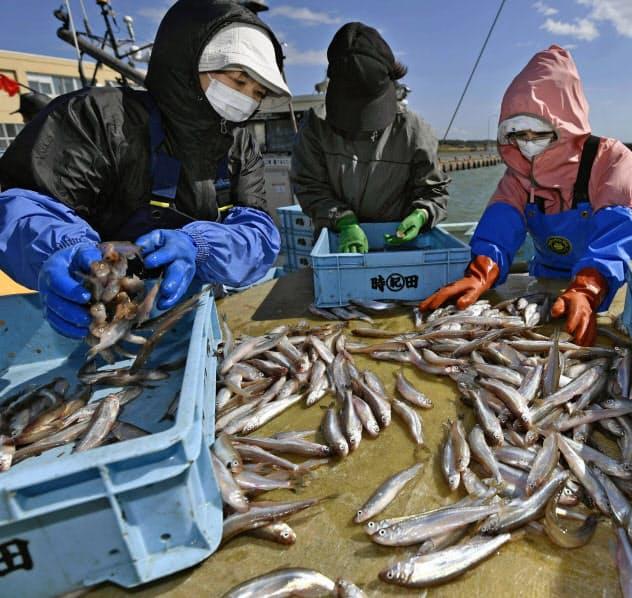 水揚げされたシシャモを仕分けする漁業関係者(北海道むかわ町)