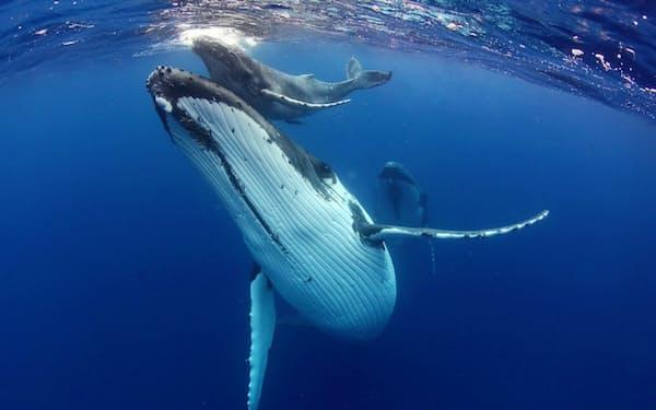 ザトウクジラの母子とエスコート(トンガ・ババウ諸島)