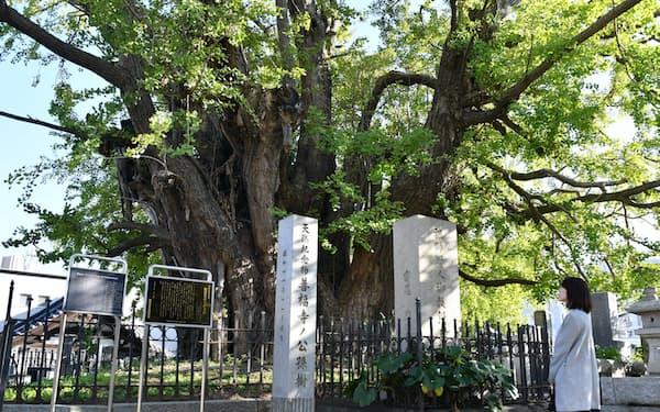 都内最大のイチョウの木がある麻布山善福寺(6日、東京都港区)