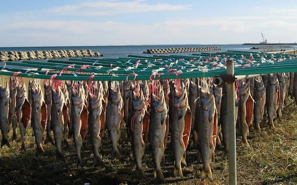 寒風干しにするサケ=別海漁協の石川さん提供