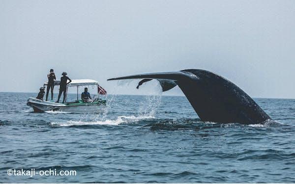 潜行するシロナガスクジラの尾(スリランカ)