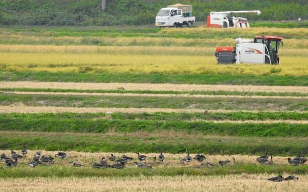 コンバインによるコメの収穫と、作業の終わりを待つマガン(宮城県大崎市)