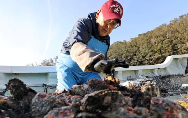 アコヤ貝を海から引き揚げる山際さん(2019年12月、三重県志摩市)