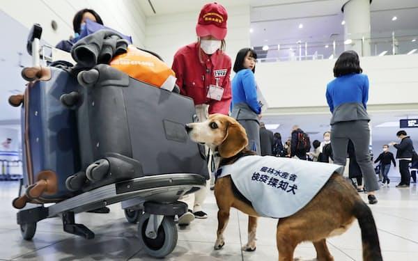 訪日客の手荷物に肉製品などがないか嗅ぎ分ける探知犬「タンク」(福岡空港)