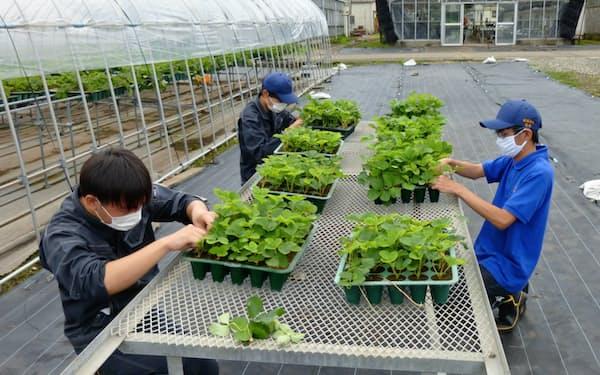 実践的な実習で経営者候補を育てていく(7月、宇都宮市の構内でイチゴの苗を管理する学生ら)