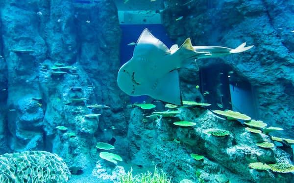 大水槽では飼育が珍しいシノノメサカタザメが遊泳する