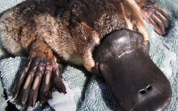 毛皮に覆われくちばしと水かきを持つ(カモノハシ保護イニシアティブ提供)