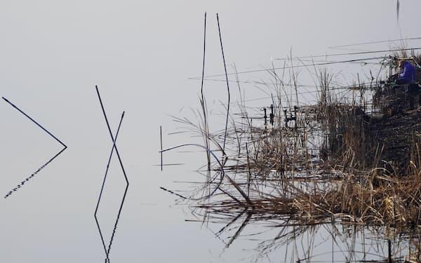 牛久沼に注ぐ稲荷川。ヨシが広がる水辺で釣り人が糸を垂れる=小園雅之撮影