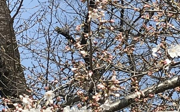 都心では桜が順調に開花している(16日、東京都台東区)