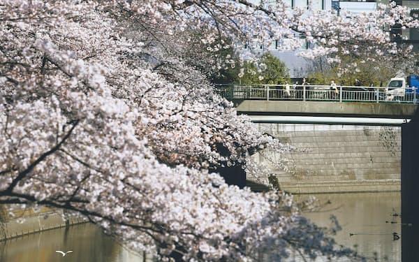 神田川沿いで咲き誇る桜並木。江戸川橋を人々が行き交う=竹邨章撮影