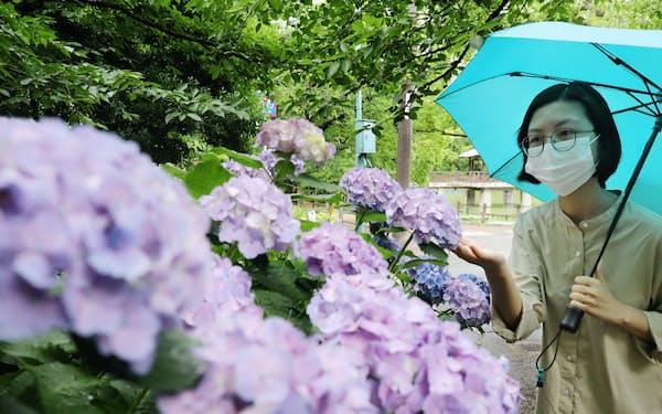 梅雨空の下、花を咲かせるアジサイ(昨年6月、名古屋市昭和区)