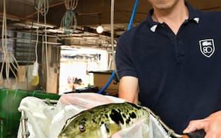 「ゲノム編集」を使い短期間で育つよう遺伝子を改良したトラフグ(高松市の水産総合研究センター)