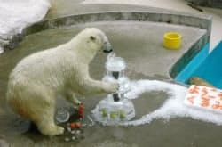 氷のウエディングケーキに入刀する雌のホッキョクグマ「クルミ」(14日午前、秋田県男鹿市)=共同