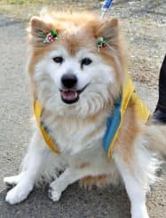 2010年12月、世界最長寿の犬としてギネスブックに認定された「ぷースケ」(栃木県さくら市)=共同