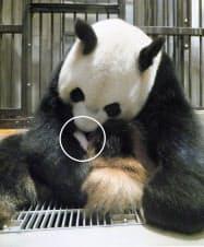 いとおしそうに赤ちゃん(円内)を抱き続ける、東京・上野動物園のジャイアントパンダ「シンシン」(9日午後2時20分ごろ、東京動物園協会提供)=共同