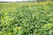 除草剤でも枯れないスーパー雑草で覆われ、作物のダイズが隠れてしまった(ノースカロライナ州、茨城大・佐合隆一教授提供)