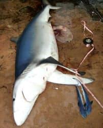 香川県沖の瀬戸内海で定置網に掛かったヨシキリザメ(香川県水産課提供)=共同