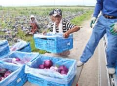 干拓地で収穫したキャベツをトラックに載せる荒木一幸さん(長崎県諫早市)