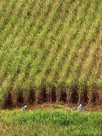 新たに植えるサトウキビの株をつくるため畑を刈る農家(沖縄県・伊江島)