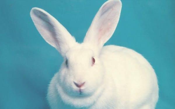 アナウサギの日本白色種は目が赤い