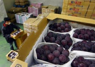 約マイナス1度の氷温庫で貯蔵されるブドウ。氷温熟成は、もともと特産の果物を冷蔵で長期貯蔵する研究の過程で生まれた技術だ(鳥取県米子市の東亜青果)