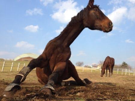 ムクっと立ち上った馬。筋肉の躍動感まで伝わってくる(千葉県富津市のマザー牧場)