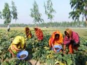 もやしの原料である緑豆を栽培するバングラデシュの農民