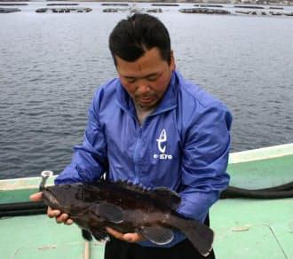 重さ2キログラム以上で、出荷前のマハタ。鍋物、刺し身ともにおいしい魚だ