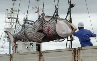 調査捕鯨により釧路沖で捕獲され、水揚げされるミンククジラ(2013年9月、北海道釧路市)=共同