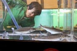 一般公開された淡水魚クニマスの成魚(23日、山梨県忍野村の県立富士湧水の里水族館)=共同