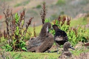 小笠原諸島・媒島で見つかったアホウドリとみられるひな(左)=東京都提供