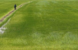 コーダ農場の広大な水田(7月、米カリフォルニア州)