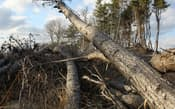 津波で横倒しになった海岸の松林(昨年12月10日、仙台市宮城野区)