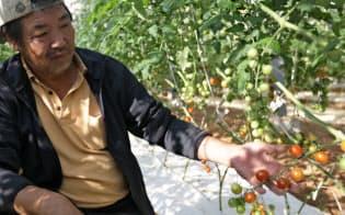 高糖度のミニトマトを自動栽培する横田茂樹さん (愛知県田原市)