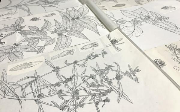 筆者が描いた植物図鑑の原画。細部を徹底的に緻密に写している