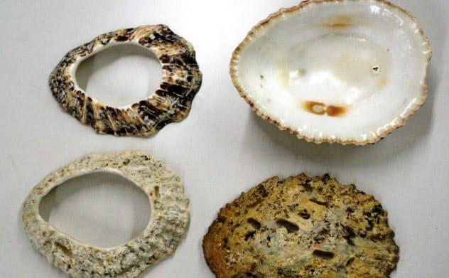 筆者が採取したオオツタノハの貝殻(右)と現生貝で復元した貝輪