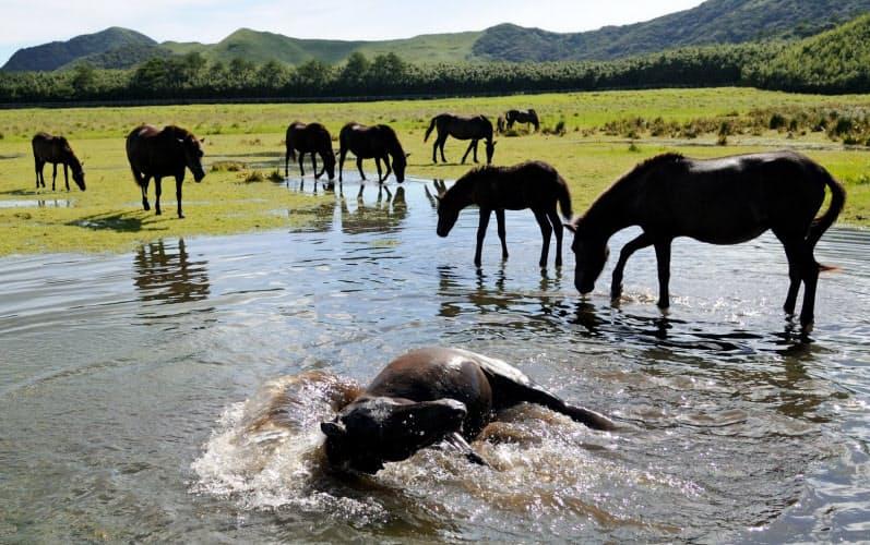 鹿児島のトカラ列島にいるトカラ馬