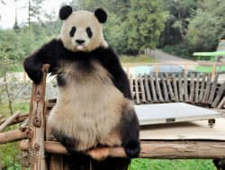 中国雲南省昆明市の動物園で体重計を壊した後、ポーズを取るジャイアントパンダ「思嘉」(13日)=共同