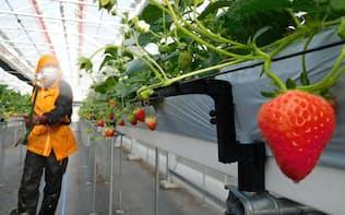 GRAはベテラン農家の技術をデータで検証、最先端の植物工場づくりに挑んでいる(宮城県山元町)