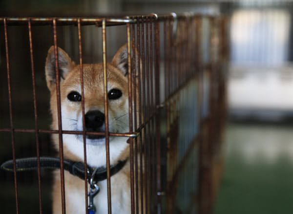 震災翌日に保護されたメス犬。飼い主が迎えにくるのを待ち2週間が過ぎた(2日、熊本市東区の熊本市動物愛護センター)