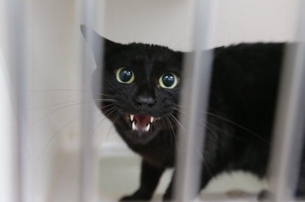 飼育ケージの中で不安な表情を見せる猫。4月15日から預けられ、飼い主が迎えにくる日はまだ決まっていない(3日、同病院)