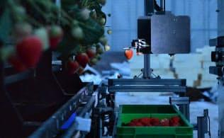人がいない夜間でもイチゴが収穫できるロボット(宮城県山元町)