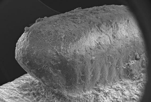 ゴキブリの卵鞘のレプリカ (熊本大学・小畑弘己研究室提供)