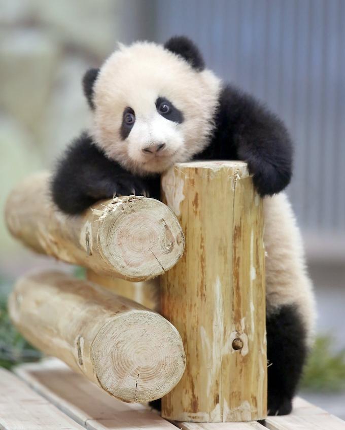 パンダ繁殖の秘訣は竹 アドベンチャーワールド 日本経済新聞
